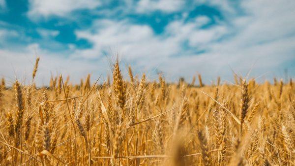 invertir en trigo