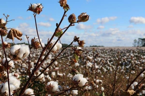 invertir en algodón